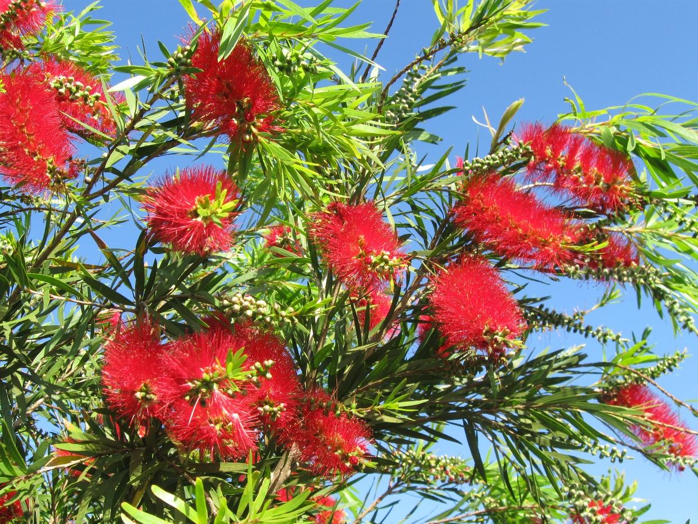 Fleurs rouges à la forme caractéristique sont produites par un arbre